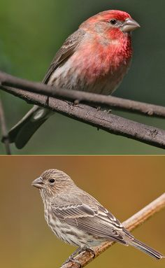 House Finch. House Finches are small-bodied finches with fairly large beaks & somewhat long, flat heads. The wings are short, making the tail seem long by comparison. Adult males are rosy red around the face and upper breast, with streaky brown back, belly and tail. In flight, the red rump is conspicuous. Adult females  are plain grayish-brown with thick, blurry streaks and an indistinctly marked face / birds I love...