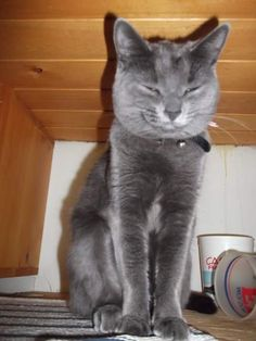 Lost Cat - Russian Blue - Fergus, ON, Canada N0G 1A0