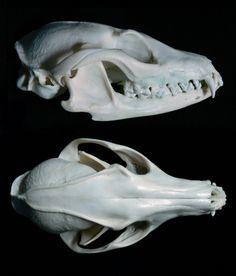 Gray Fox Skull Multiangle by nikkiburr