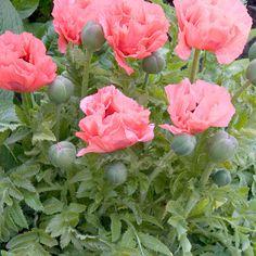 Tarhaidänunikko - Poppy - Pink Pearl - Viherpeukalot