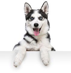 Husky Hello!