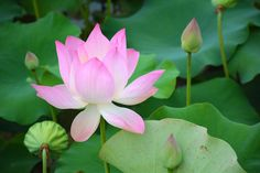 Lotus Flower in Siem Reap, Cambodia | lucidpractice.com | #photography #Asia #travel