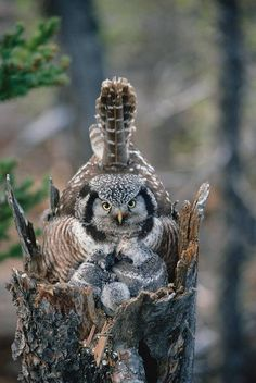 Northern Hawk owl and babies