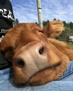 Cute Baby Cow, Baby Cows, Cute Cows, Cute Babies, Baby Farm Animals, Cow Pictures, Animal Pictures, Cute Little Animals, Cute Funny Animals