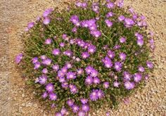 Ice plants and other ground cover plants for high desert.