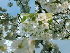 Cheris tree. Garden.