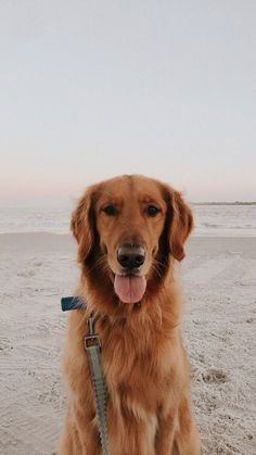golden retriever on a beach Tim Hall on VSCO Angela future pup Perros Golden Retriever, Chien Golden Retriever, Golden Retrievers, Cute Puppies, Cute Dogs, Dogs And Puppies, Doggies, Cute Baby Animals, Animals And Pets