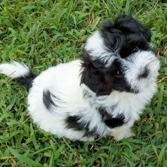 Havanese Puppy Dog - ours is named Yogi!