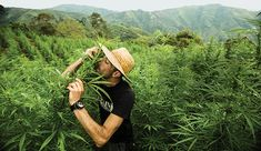 It's Good to Be the King Arjan Roskam's Cannabis Empire Is More Than Smoke and Mirrors