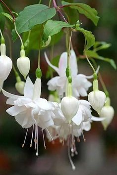 White fuchsia with touches of palest pink.  The variety could be Pink Marshmallow, or one of the white cultivars.