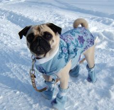 Pug in boots keeping warm at the snow