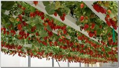 HANGING STRAWBERRY. IN ISRAEL, they do fantastic... could maybe use old gutters of pbc pipe in half