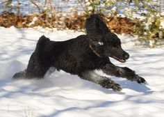Black Standard poodle running in the snow...