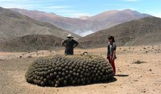 Copiapoa, a remarkable fog dwelling cacti that has thrived in the most arid habitat on Earth––the Atacama Desert.