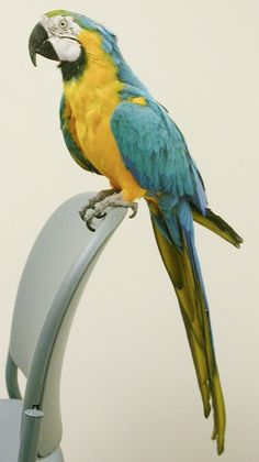 Macaw - Blue & Gold Parrots, Blue Gold, South America, Birds, Crystal, American, Animals, Toco Toucan, Animaux