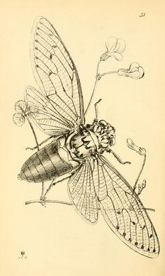 Arcana entomologica, or, Illustrations of new, ...