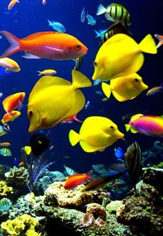 surgeon fish and anthias