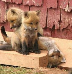 Baby foxes. oh my heart.