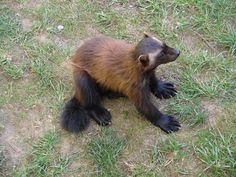 Wolverine (Gulo gulo). Netherlands. Photo by ragingr2 (at https://www.flickr.com/photos/hansbomers/7020778339/).