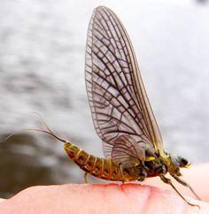 Female Drunella doddsii (Western Green Drake) Mayfly Dun from the Gulkana River in Alaska
