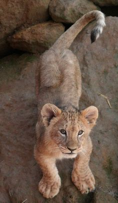 Baby lion...but he should be in the Wild...not in a locked up enclosure!!!!