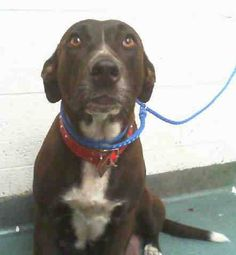LOLY (A1708174) I am a female black and white Labrador Retriever mix. The shelter staff think I am about 1 year and 6 months old and I weigh 56 pounds. I was turned in by my owner and I may be available for adoption on 06/27/2015. Miami Dade https://www.facebook.com/urgentdogsofmiami/photos/pb.191859757515102.-2207520000.1435431950./1002430216458048/?type=3&theater