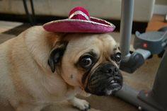 Phoebe the pug in a sombrero