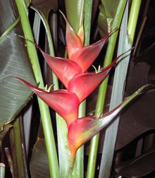 Heliconia caribaea 'Prince of Darkness' - grows to 4.5m - full sun to 40% shade
