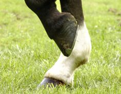 Most horse owners have noticed that the surfaces of their horses' hooves are not completely uniform from the coronary band to the ground.