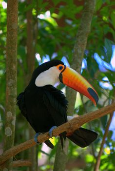 Independent Leaders Toco Toucan Tropical Birds, Exotic Birds, Toucan Toco, Animals And Pets, Cute Animals, Rainforest Animals, Bird Pictures, Beautiful Birds, Pet Birds