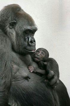 Mamãe Gorila com seu filhote