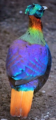 Himalayan Monal, found in the Himalayas from eastern Afghanistan to Bhutan, northeast India and southern Tibet. A highly communicative bird, the Himalayan Monal uses several different call types to express meaning to its mate, other birds in its foraging group, or intruding birds. Males also use body displays to attract females; bobbing the head-crest and fanning their tail feathers.