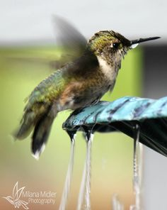Hummingbird Friends - Please Vote for my photo. Simply click on the photo.  Thank you!