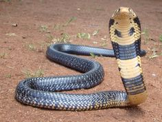 The forest cobra (Naja melanoleuca), also called the black cobra and black or white-lipped cobra, is a highly venomous species of cobra in the Elapidae family,
