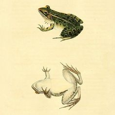 Southern Leopard Frog (Rana sphenocephala). #SciArt by J. Sera. John E. Holbrook North American Herpetology Vol. 1 (1836). Contributed for digitization by Smithsonian Libraries (@silibraries) to #BiodiversityHeritageLibrary. http://www.biodiversitylibrary.org/page/35765118  #SouthernLeopardFrog #LeopardFrog #Frogs #Herpetology #Amphibians #BHLib #Biodiversity #NaturalHistory #NatHist #ScientificIllustration #ScientificArt #OpenAccess #Libraries #Archives #SpecialCollections…