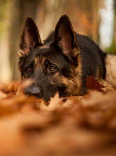 Wicked Training Your German Shepherd Dog Ideas. Mind Blowing Training Your German Shepherd Dog Ideas. Beautiful Dogs, Animals Beautiful, I Love Dogs, Cute Dogs, German Shepherd Puppies, German Shepherds, Working Dogs, Doge, Dog Life