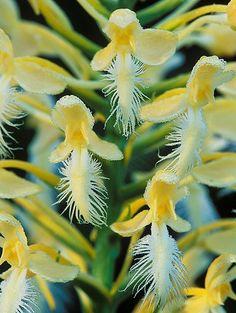 Platanthera Hybrid:  Yellow fringed X White fringed Orchid (Hybrid) - Flickr - Photo Sharing!