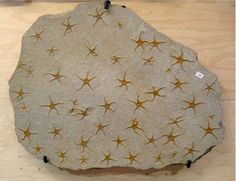 Starfish fossils ~ this is so cool!