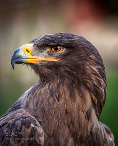Hector is Ivar's battle eagle. He is a male Golden Eagle with recorded speed that can go up to 150 mph. Eagle Pictures, Animal Pictures, Aigle Harpie, Beautiful Birds, Animals Beautiful, Art Plastic, Regard Animal, Animals And Pets, Cute Animals