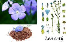 len setý Sisal, Healing Herbs, Natural Medicine, Dandelion, Flowers, Nature, Plants, Health, Google