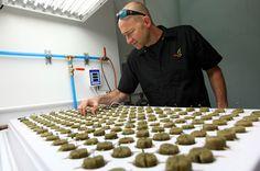 South Dakota tribe to open nation's 1st marijuana resort