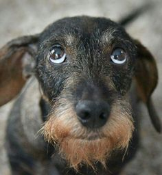 Wired hair dachshund the cutest dogs eve. - Wired hair dachshund the cutest dogs ever - Dachshund Breed, Wire Haired Dachshund, Dachshund Love, Daschund, Welsh Terrier, Scottish Terrier, I Love Dogs, Cute Dogs, Best Apartment Dogs