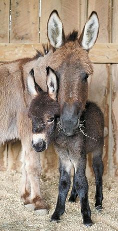 A Donkey ~ And Her Foal.