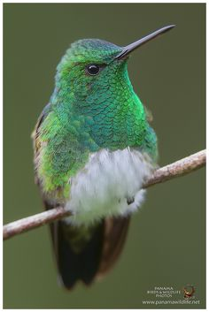 """Snowy-bellied Hummingbird / Amazilia Ventrinivosa by Panama Birds"