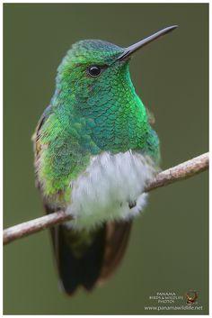 """Snowy-bellied Hummingbird / Amazilia Ventrinivosa by Panama Birds"