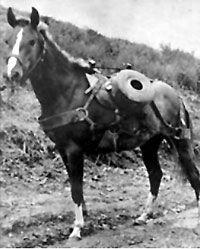 This mare's name was Reckless -- a pack horse during the Korean war, where rough terrain and primitive roads demanded animals to carry rifles, ammunition, and supplies to Marines on the front lines.  During the battle for Outpost Vegas, she made 50 trips up and down the hill; on the way up she carried ammunition, and on the way down she carried wounded soldiers. The amazing thing -- is that she made every one of those trips up the hill, through enemy fire, without anyone leading her.