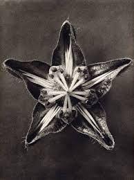 Karl Blossfeldt, Title: Cajophora lateritia (Loasaceae), 1932