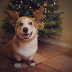Corgnelius, the happiest reindeer in the world. #CaniHasYourMilkAndCookies??