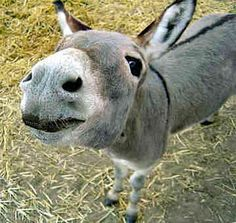 Miniature Donkeys | Miniature Donkeys - Farm Animals - Bob The Donkey