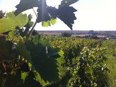 Vineyards everywhere.